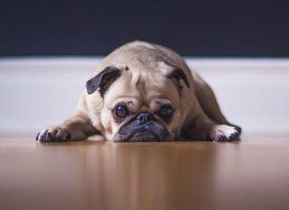 Pug triste